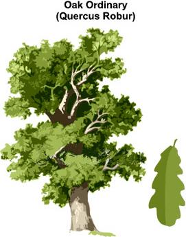 oak Goddess Plan Pr Ntr Kmt